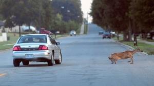 Que faire en cas de collision avec un animal sauvage ?
