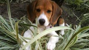 Assurance santé animale : Gare à l'intoxication aux champignons chez le chien