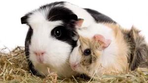 Assurance animale : L'alimentation du cobaye