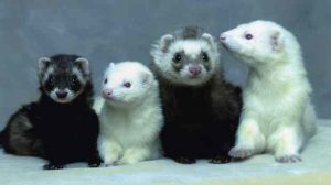 Assurance animale : Les parasites externes n'épargnent pas les furets