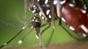 Santé : Un premier cas de dengue, non importé, a été détecté en métropole