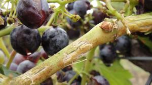 Assurance/grêle : Des dégâts considérables dans les vignobles du Minervois