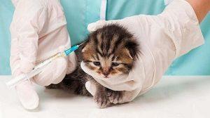 Prévention santé animale : D'autres chatons enragés ramenés illégalement