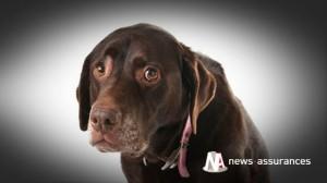 Assurance santé animale : dépister précocement la dysplasie de la hanche chez le chien