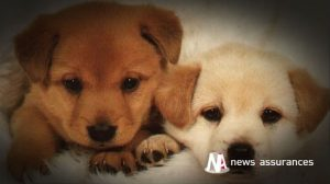 Santé animale : la salive des chiens serait-elle finalement « bonne » pour la santé de leur maître ?