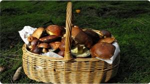 Cueillette de champignons : Attention aux variétés toxiques !