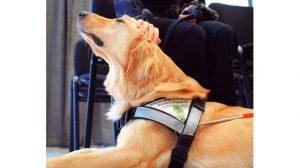 Assurance animale : Le chien guide d'aveugle, un auxiliaire précieux