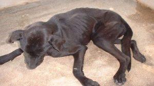 Assurance santé animale : Leishmaniose chez le chien, une maladie grave